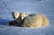 Francois Gohier and Photo Researchers - Polar Bear and Cub