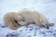 Francois Gohier and Photo Researchers - Polar Bear