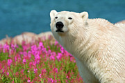 Dennis Fast Framed Prints - Polar Bear in Fireweed Framed Print by Dennis Fast
