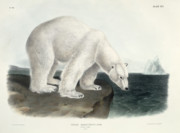 John James Audubon - Polar Bear