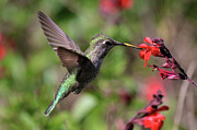 Hummingbird Prints Prints - Pollen 8 Print by Paul Marto