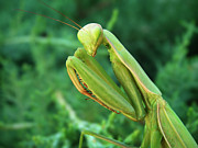 Sly Prints - Praying Mantis Print by Leland Howard