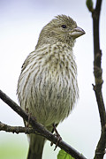 House Finch Photos - Puffed Up a Little by Steven Llorca