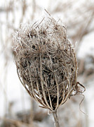 Pods Originals - Queen Annes Lace Seed Pods by Bruce Ritchie