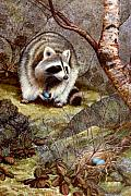 Raccoon Painting Framed Prints - Raccoon Found Treasure  Framed Print by Frank Wilson