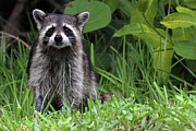 J N Ding Darling National Wildlife Refuge Photos - Raccoon Photograph by Meg Rousher