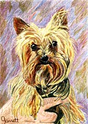 Yorkie Drawings - Radar by Judy Garrett