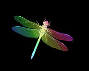 Tom Biegalski - Rainbow Dragonfly