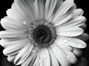Jennie Marie Schell - Raindrops on Gerber Daisy Black and...