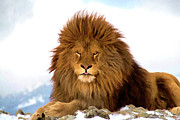 Dennis Fast Framed Prints - Rare Barbary Lion in Winter Framed Print by Dennis Fast