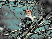 Scott Hovind - Red Bellied Woodpecker