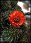 Saija  Lehtonen - Red Cactus Flower