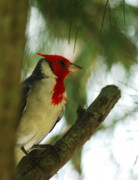 Michael Peychich - Red Crested Cardinal 2