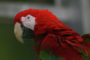 Scott Hovind - Red Macaw