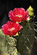 Saija  Lehtonen - Red Prickly Pear Cactus