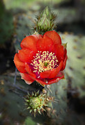 Saija  Lehtonen - Red Prickly Pear