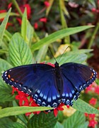 Warren Thompson - Red Spotted Purple Butterfly