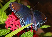 Warren Thompson - Red Spotted Purple