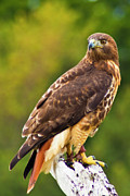 Bill Barber - Red-Tailed Hawk