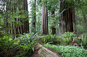 Featured Art - Redwood National Park, California by Gregory G. Dimijian, M.D.