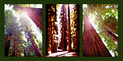 Sunshine Mixed Media Framed Prints - Redwoods Triptych- Avenue of the Giants Framed Print by Steve Ohlsen