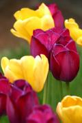 Gary Gingrich Galleries - RedYellowTulips6728