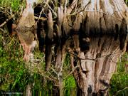 Barbara Bowen - Reflection of Cypress Knees