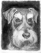 Miniature Drawings - Rescue dog-Kirby Minature Schnauzer by Jim Hubbard