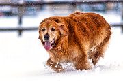 Matt Dobson - Retriever Running in Snow