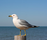 Barbara McMahon - Ring-Billed Gull