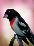 Scott Hovind - Rose Breasted Grosbeak