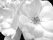 Jennie Marie Schell - Roses Soft Petals in black and White