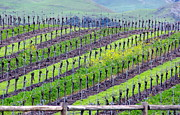 Wine Making Posters - Rows of Grape Vines Poster by Jeff Lowe