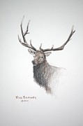 Elk Drawings - Royalty by Bud  Barnes
