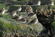 Birds Of Wells Mills Prints Posters - Ruddy Turnstones 187 Poster by Joyce StJames