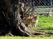 Photos Of Cats Prints - Rudy behind the tree Print by Cheryl Poland