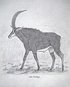 Safari Sketch Posters - Sable Antelope Poster by Julia Raddatz