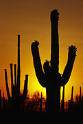 Sandra Bronstein - Saguaro Sunset