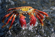 Sami Sarkis - Sally Lightfoot Crab in water