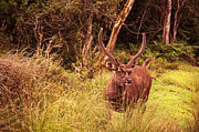 Jenny Rainbow - Sambar Deer II. Horton Plains National...