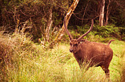 Jenny Rainbow - Sambar Deer III. Horton Plains National...