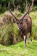 Jenny Rainbow - Sambar Deer IV. Horton Plains National...