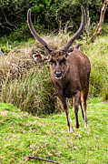 Jenny Rainbow - Sambar Deer V. Horton Plains National...
