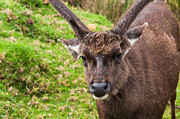 Jenny Rainbow - Sambar Deer VII. Horton Plains National...