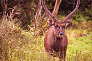 Jenny Rainbow - Sambar Deer.VI Horton Plains National...