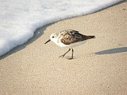 Maryland Coast Posters - Sandpiper Hunting on Assateague Island Maryland Poster by Sven Migot