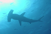 Sami Sarkis - Scalloped Hammerhead shark