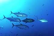 Sami Sarkis - School of Bigeye Jack fishes