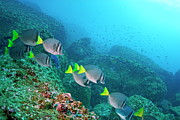Sami Sarkis - School of Razor Surgeonfish on rocky...