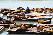 Wingsdomain Art and Photography - Sea Lions At Pier 39 San Francisco...